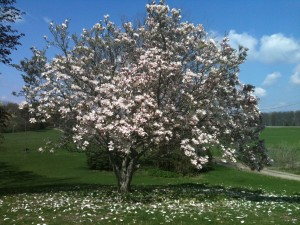 Here's a photo of the magnolia tree at my parents' house. It inspired today's poem. Photo by Nathan Marchand